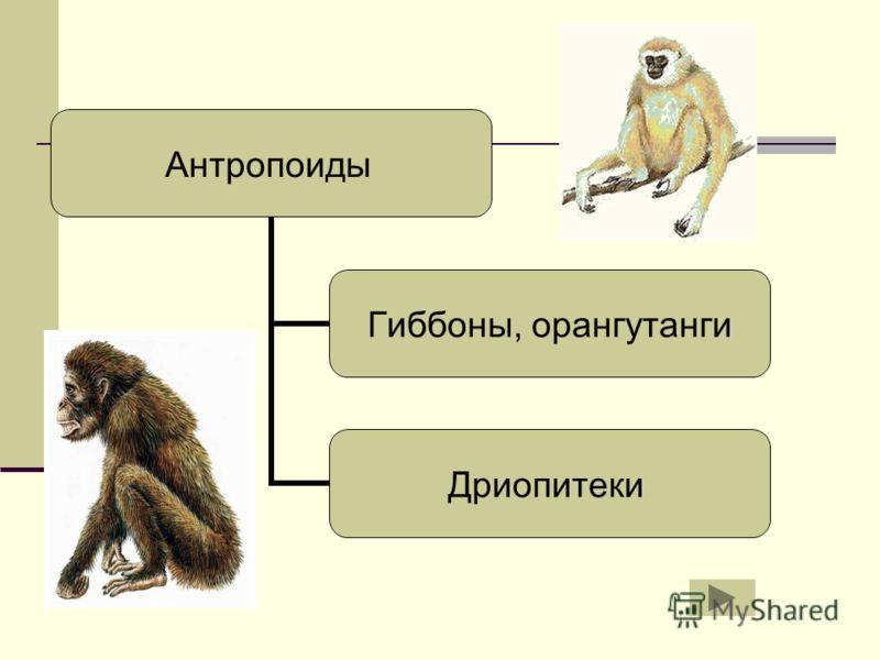 Гиббоны, орангутанги Дриопитеки