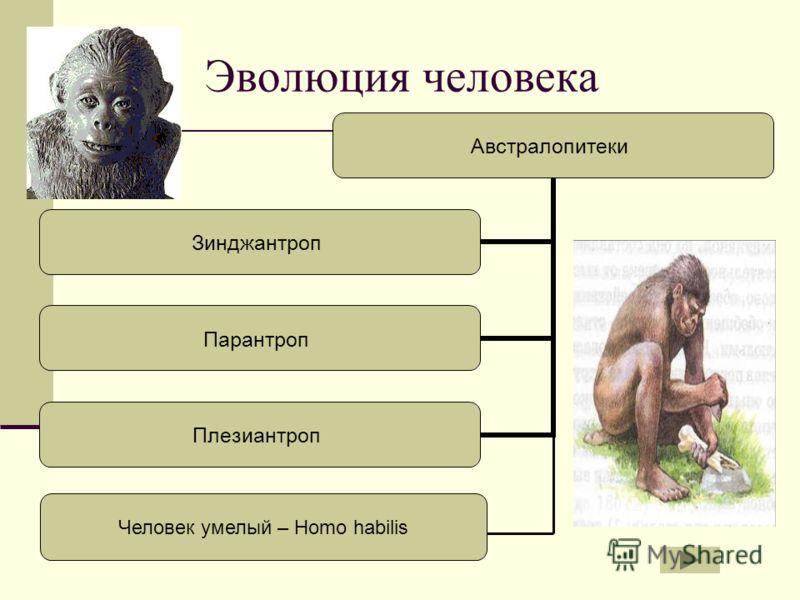 Эволюция человека Австралопитеки Зинджантроп Парантроп Плезиантроп Человек умелый – Homo habilis