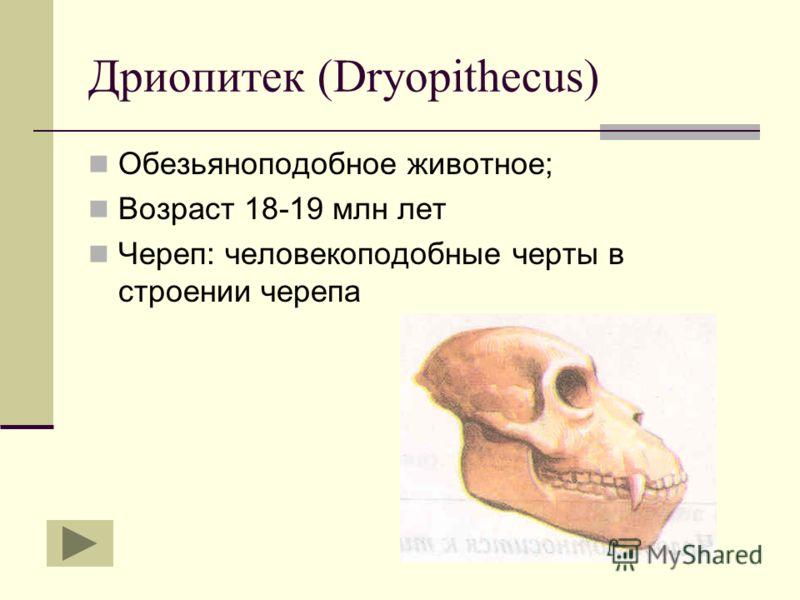 Дриопитек (Dryopithecus) Обезьяноподобное животное; Возраст 18-19 млн лет Череп: человекоподобные черты в строении черепа