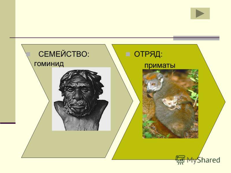 СЕМЕЙСТВО: гоминид ОТРЯД: приматы