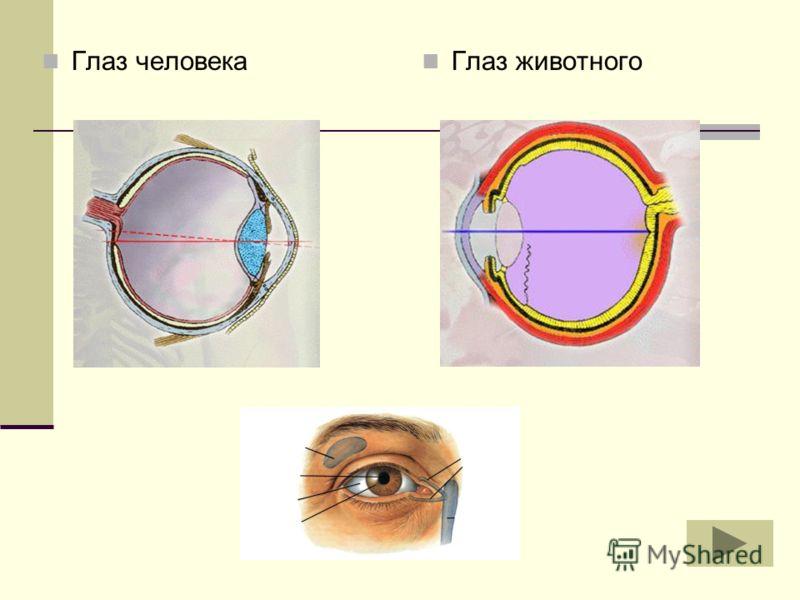 Глаз животного Глаз человека