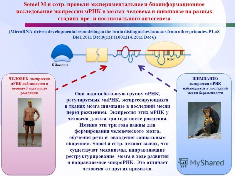 Somel M и сотр. провели экспериментальное и биоинформационное исследование экспрессии мРНК в мозгах человека и шимпанзе на разных стадиях пре- и постнатального онтогенеза (MicroRNA-driven developmental remodeling in the brain distinguishes humans fro