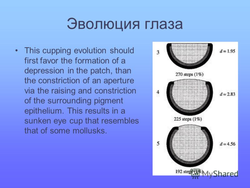 Эволюция глаза This cupping evolution should first favor the formation of a depression in the patch, than the constriction of an aperture via the raising and constriction of the surrounding pigment epithelium. This results in a sunken eye cup that re