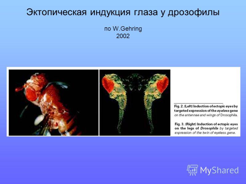 Эктопическая индукция глаза у дрозофилы по W.Gehring 2002