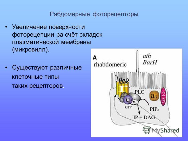 Рабдомерные фоторецепторы Увеличение поверхности фоторецепции за счёт складок плазматической мембраны (микровилл). Существуют различные клеточные типы таких рецепторов.