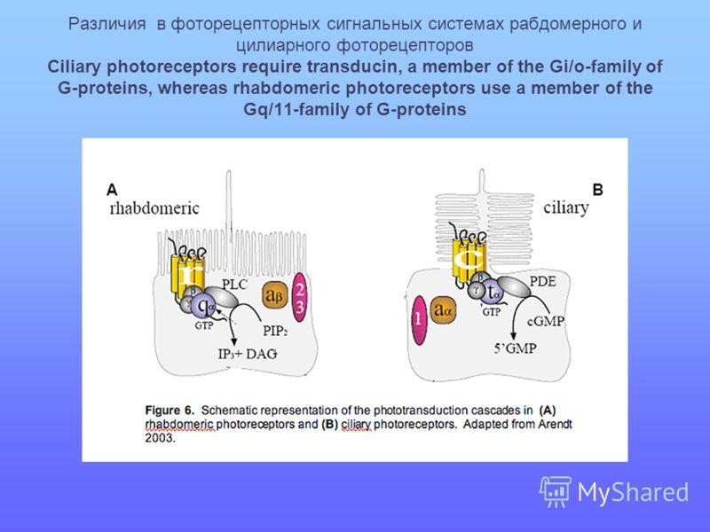 Различия в фоторецепторных сигнальных системах рабдомерного и цилиарного фоторецепторов Ciliary photoreceptors require transducin, a member of the Gi/o-family of G-proteins, whereas rhabdomeric photoreceptors use a member of the Gq/11-family of G-pro
