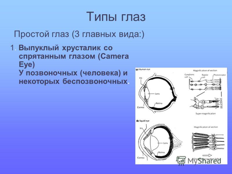 Типы глаз 1. Выпуклый хрусталик со спрятанным глазом (Camera Eye) У позвоночных (человека) и некоторых беспозвоночных. Простой глаз (3 главных вида:)