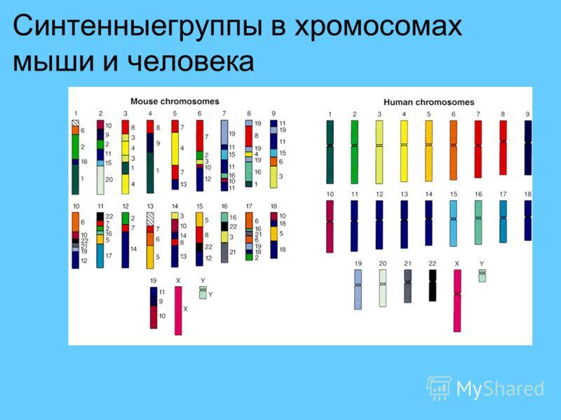 Синтенныегруппы в хромосомах мыши и человека