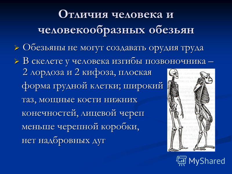 Отличия человека и человекообразных обезьян Обезьяны не могут создавать орудия труда Обезьяны не могут создавать орудия труда В скелете у человека изгибы позвоночника – 2 лордоза и 2 кифоза, плоская В скелете у человека изгибы позвоночника – 2 лордоз