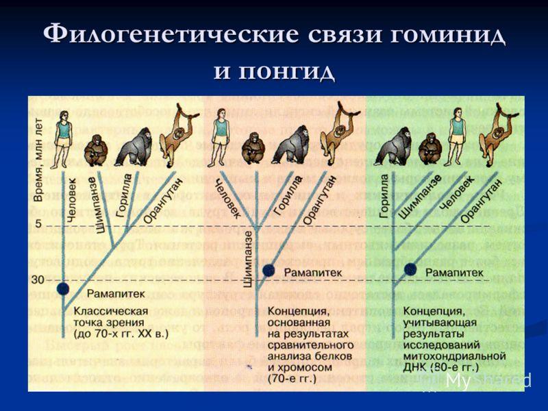 Филогенетические связи гоминид и понгид