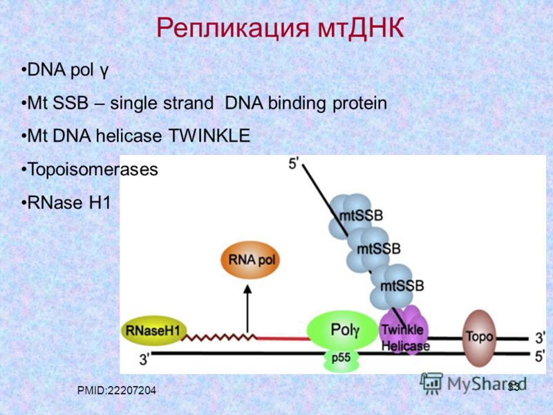 33 Репликация мтДНК DNA pol γ Mt SSB – single strand DNA binding protein Mt DNA helicase TWINKLE Topoisomerases RNase H1 PMID:22207204