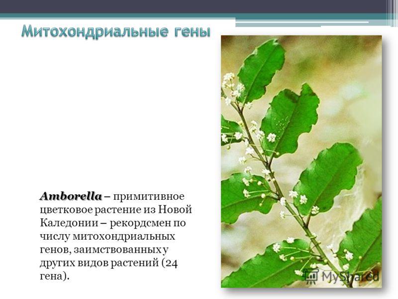 Amborella Amborella – примитивное цветковое растение из Новой Каледонии – рекордсмен по числу митохондриальных генов, заимствованных у других видов растений (24 гена).