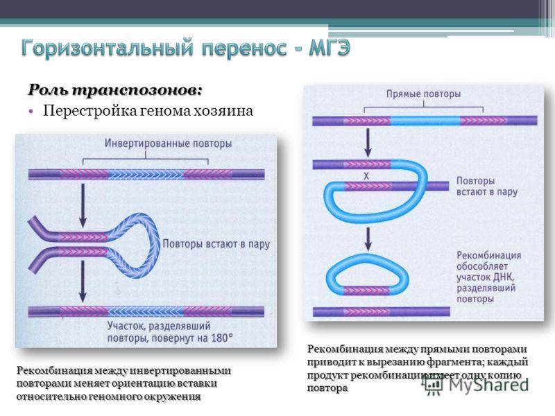 Роль транспозонов: Перестройка генома хозяина Рекомбинация между инвертированными повторами меняет ориентацию вставки относительно геномного окружения Рекомбинация между прямыми повторами приводит к вырезанию фрагмента; каждый продукт рекомбинации им