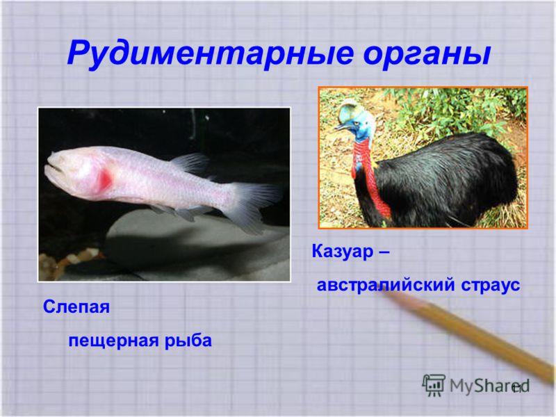 Рудиментарные органы Казуар – австралийский страус Слепая пещерная рыба 11