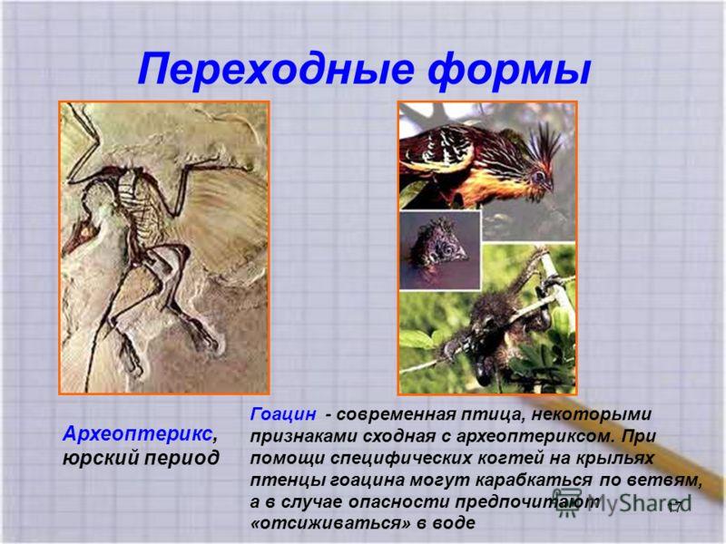 Переходные формы Археоптерикс, юрский период Гоацин - современная птица, некоторыми признаками сходная с археоптериксом. При помощи специфических когтей на крыльях птенцы гоацина могут карабкаться по ветвям, а в случае опасности предпочитают «отсижив