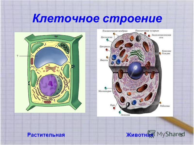 Клеточное строение РастительнаяЖивотная 5