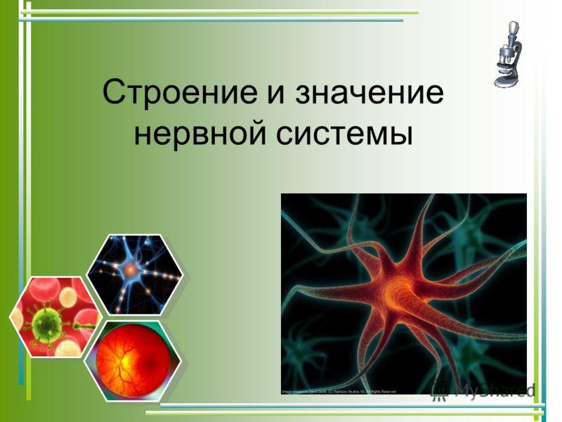 Строение и значение нервной системы