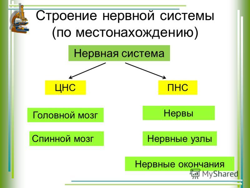 Строение нервной системы (по местонахождению) Нервная система ЦНСПНС Головной мозг Спинной мозг Нервы Нервные узлы Нервные окончания