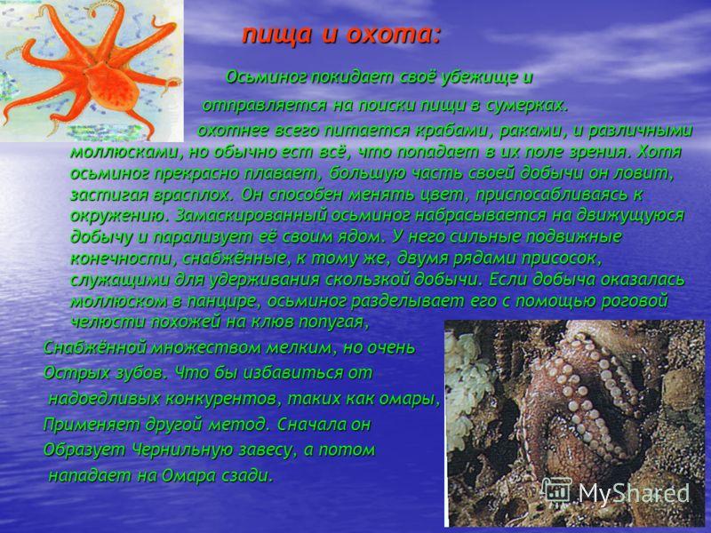 пища и охота: пища и охота: Осьминог покидает своё убежище и Осьминог покидает своё убежище и отправляется на поиски пищи в сумерках. отправляется на поиски пищи в сумерках. охотнее всего питается крабами, раками, и различными моллюсками, но обычно е