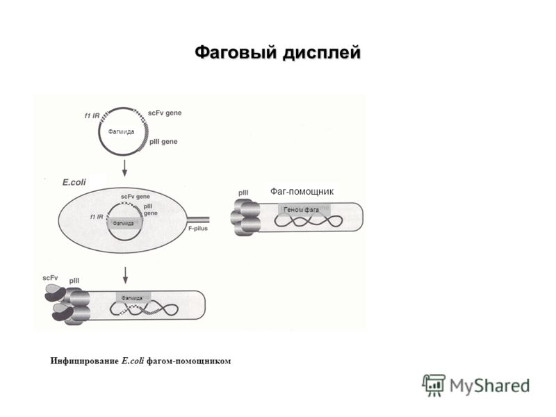 Фаговый дисплей Фагмида Фаг-помощник Геном фага Инфицирование E.coli фагом-помощником