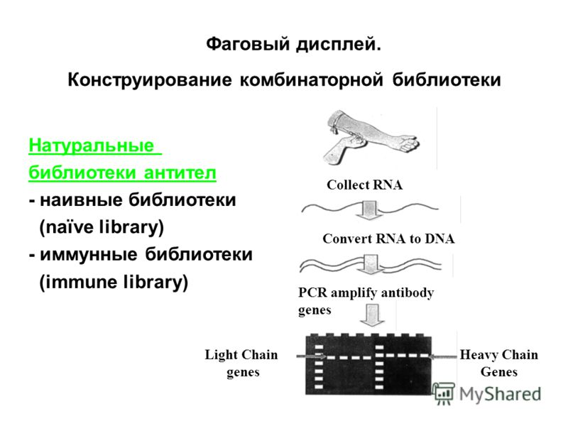 Collect RNA Convert RNA to DNA PCR amplify antibody genes Heavy Chain Genes Light Chain genes Натуральные библиотеки антител - наивные библиотеки (naïve library) - иммунные библиотеки (immune library) Конструирование комбинаторной библиотеки Фаговый