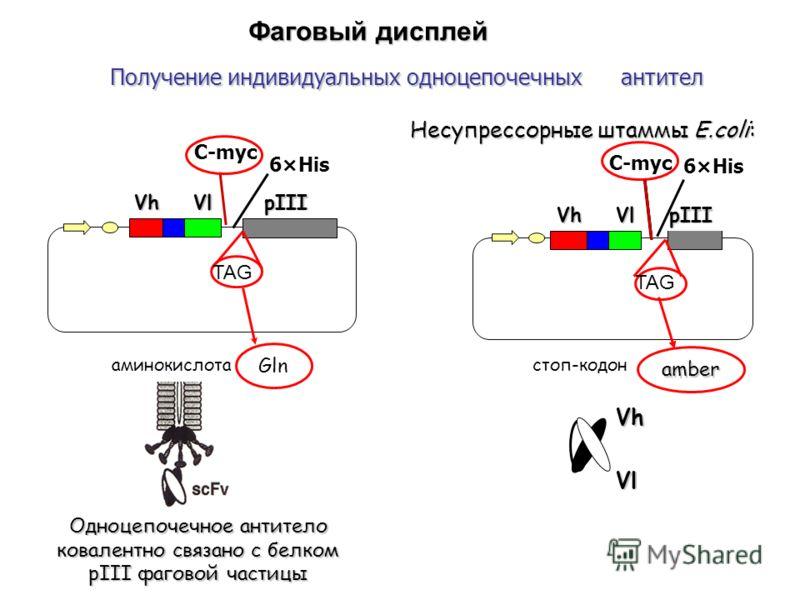 Фаговый дисплей Получение индивидуальных одноцепочечных антител Vh Vl pIII TAG Vh Vl Несупрессорные штаммы E.coli: TAG Gln Одноцепочечное антитело ковалентно связано с белком рIII фаговой частицы amber Vh Vl pIII VhVl аминокислотастоп-кодон C-myc 6×H