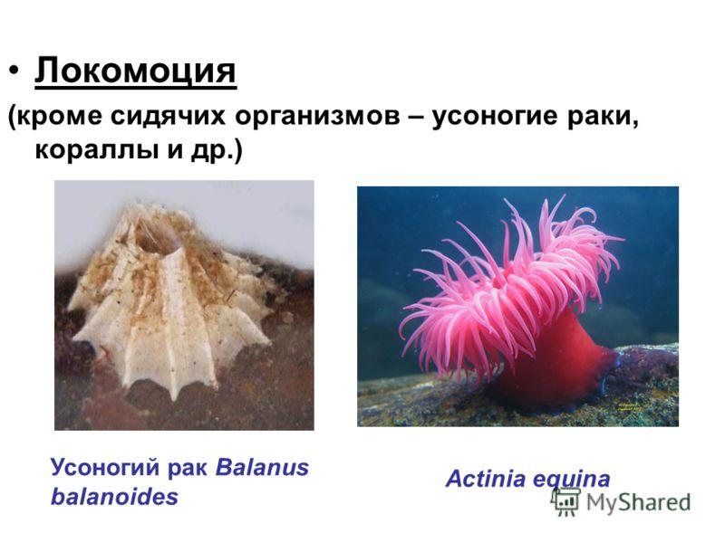 Локомоция (кроме сидячих организмов – усоногие раки, кораллы и др.) Усоногий рак Balanus balanoides Actinia equina
