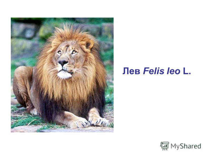 Лев Felis leo L.