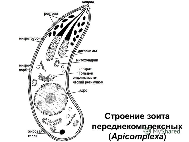 Строение зоита переднекомплексных (Apicomplexa)
