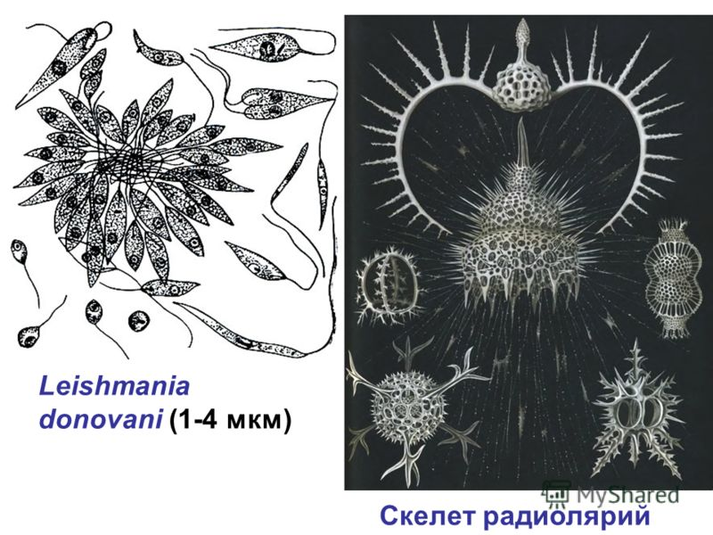 Leishmania donovani (1-4 мкм) Скелет радиолярий