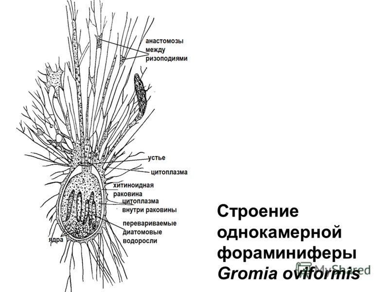Строение однокамерной фораминиферы Gromia oviformis