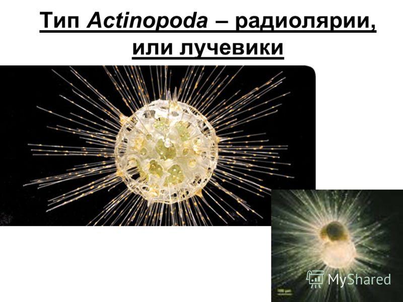 Тип Actinopoda – радиолярии, или лучевики