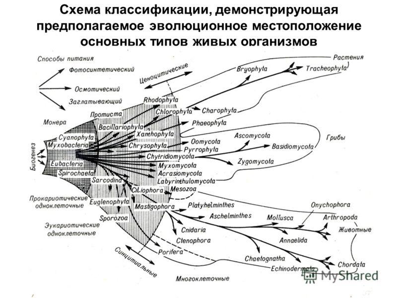 Схема классификации, демонстрирующая предполагаемое эволюционное местоположение основных типов живых организмов