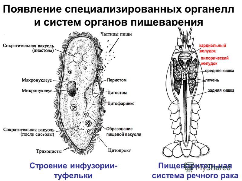 Появление специализированных органелл и систем органов пищеварения Пищеварительная система речного рака Строение инфузории- туфельки