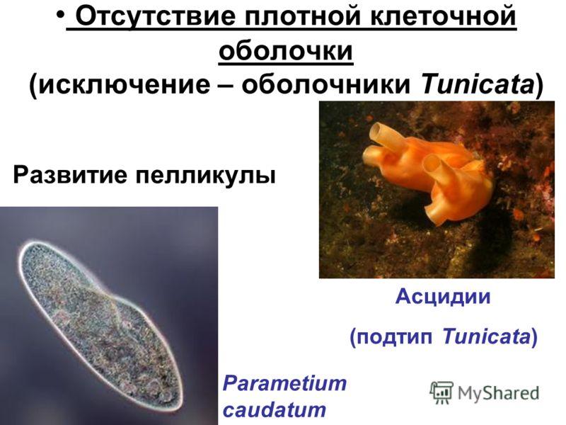 Отсутствие плотной клеточной оболочки (исключение – оболочники Tunicata) Развитие пелликулы Асцидии (подтип Tunicata) Parametium caudatum