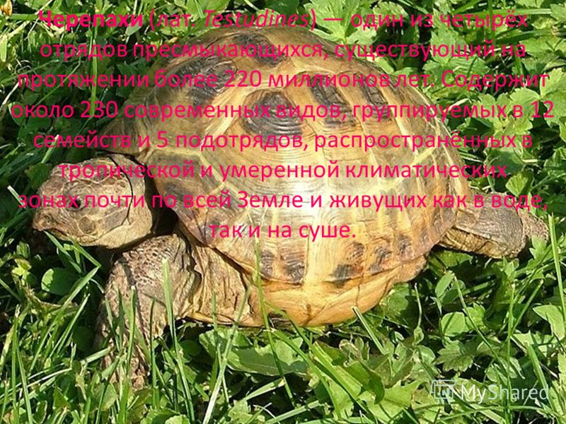 Черепахи (лат. Testudines) один из четырёх отрядов пресмыкающихся, существующий на протяжении более 220 миллионов лет. Содержит около 230 современных видов, группируемых в 12 семейств и 5 подотрядов, распространённых в тропической и умеренной климати