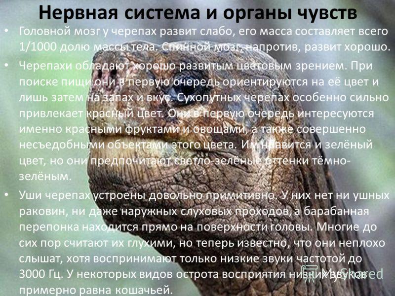 Нервная система и органы чувств Головной мозг у черепах развит слабо, его масса составляет всего 1/1000 долю массы тела. Спинной мозг, напротив, развит хорошо. Черепахи обладают хорошо развитым цветовым зрением. При поиске пищи они в первую очередь о