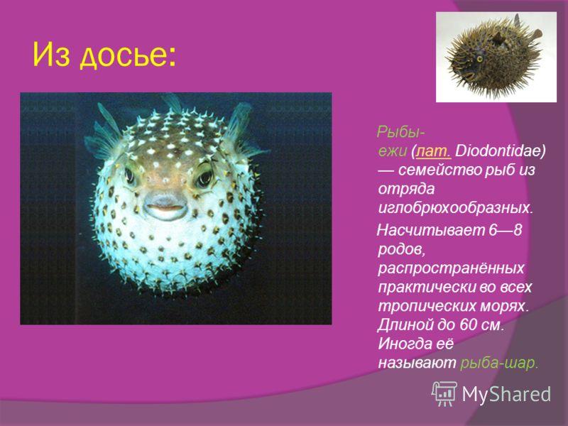 Из досье: Рыбы- ежи (лат. Diodontidae) семейство рыб из отряда иглобрюхообразных.лат. Насчитывает 68 родов, распространённых практически во всех тропических морях. Длиной до 60 см. Иногда её называют рыба-шар.