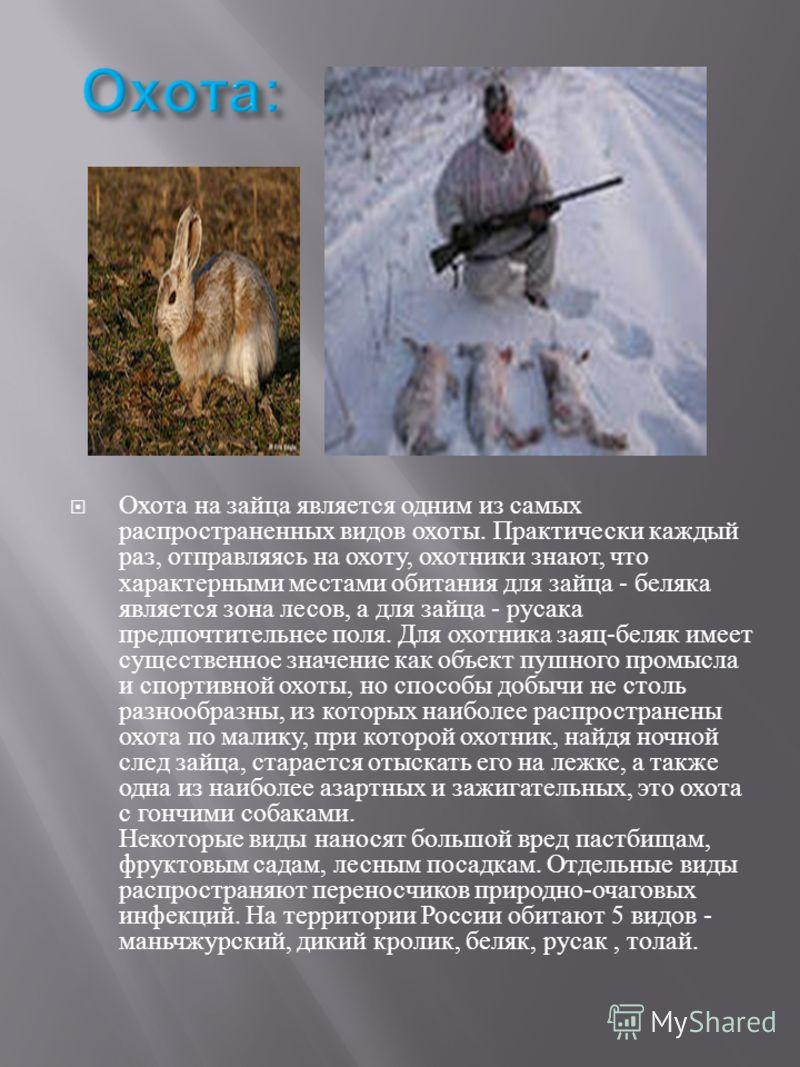 Охота на зайца является одним из самых распространенных видов охоты. Практически каждый раз, отправляясь на охоту, охотники знают, что характерными местами обитания для зайца - беляка является зона лесов, а для зайца - русака предпочтительнее поля. Д