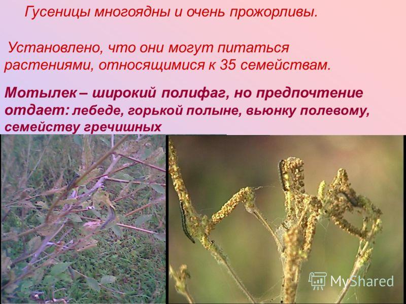 Гусеницы многоядны и очень прожорливы. Установлено, что они могут питаться растениями, относящимися к 35 семействам. Мотылек – широкий полифаг, но предпочтение отдает: лебеде, горькой полыне, вьюнку полевому, семейству гречишных
