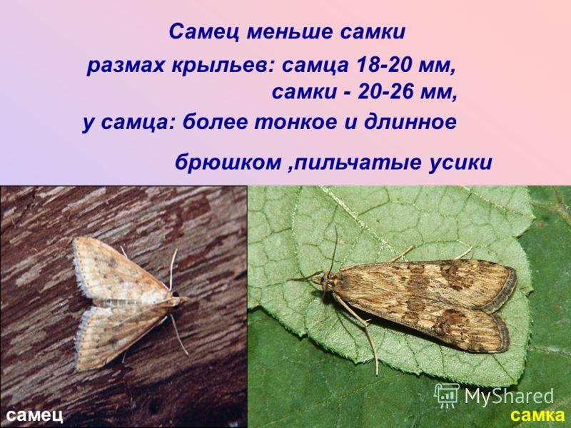 самецсамка Самец меньше самки размах крыльев: самца 18-20 мм, самки - 20-26 мм, у самца: более тонкое и длинное брюшком,пильчатые усики