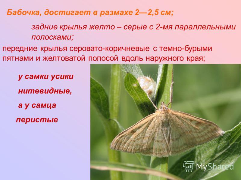 задние крылья желто – серые с 2-мя параллельными полосками ; Бабочка, достигает в размахе 22,5 см; передние крылья серовато-коричневые с темно-бурыми пятнами и желтоватой полосой вдоль наружного края; у самки усики нитевидные, а у самца перистые