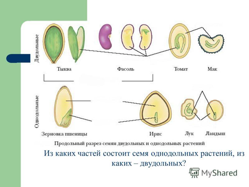 Из каких частей состоит семя однодольных растений, из каких – двудольных?