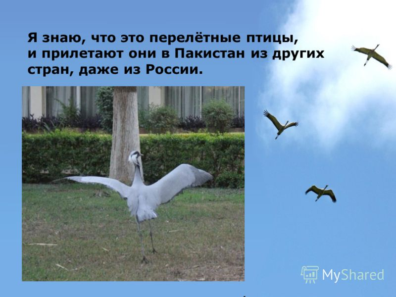 Я знаю, что это перелётные птицы, и прилетают они в Пакистан из других стран, даже из России.