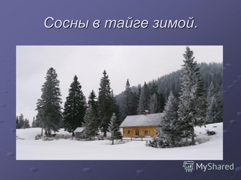 Сосны в тайге зимой.