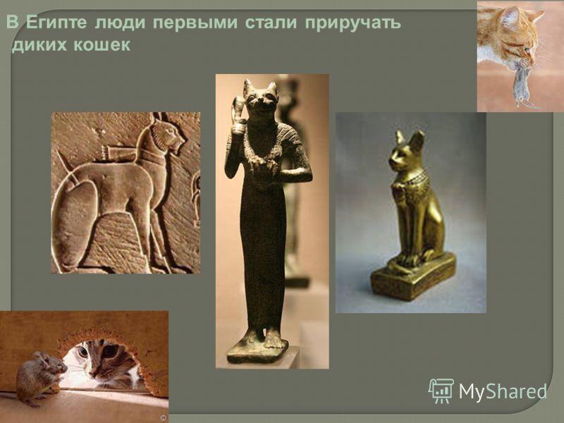 В Египте люди первыми стали приручать диких кошек