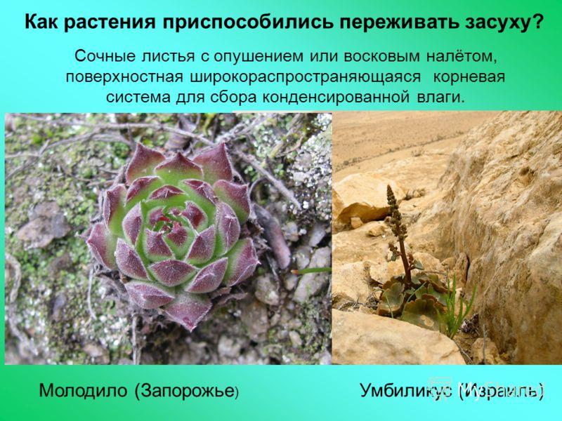 Как растения приспособились переживать засуху? Сочные листья с опушением или восковым налётом, поверхностная широкораспространяющаяся корневая система для сбора конденсированной влаги. Молодило (Запорожье ) Умбиликус (Израиль)