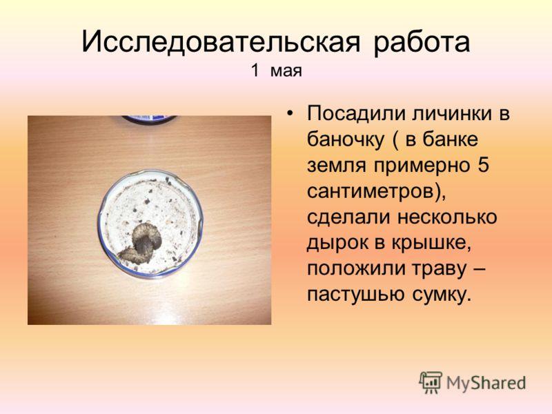 Исследовательская работа 1 мая Посадили личинки в баночку ( в банке земля примерно 5 сантиметров), сделали несколько дырок в крышке, положили траву – пастушью сумку.