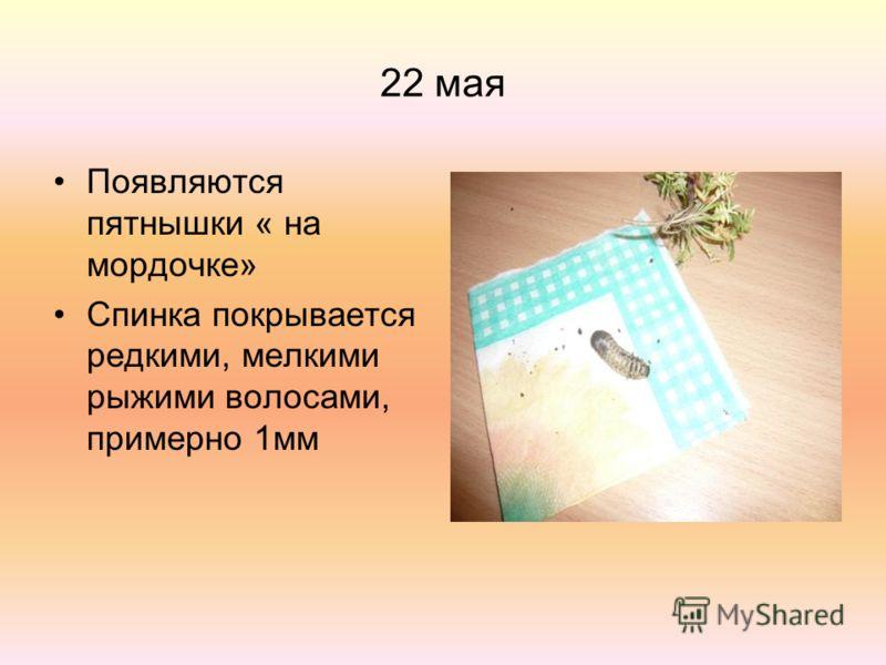 22 мая Появляются пятнышки « на мордочке» Спинка покрывается редкими, мелкими рыжими волосами, примерно 1мм