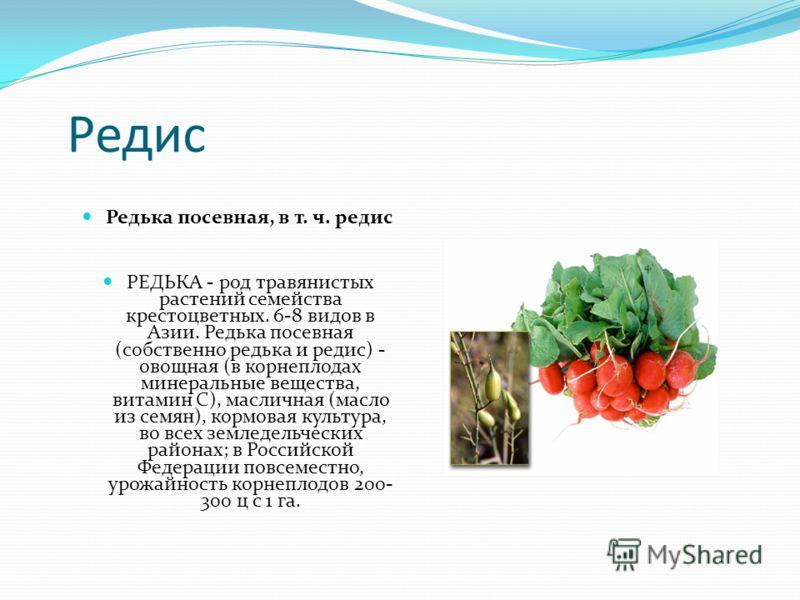 Редис Редька посевная, в т. ч. редис РЕДЬКА - род травянистых растений семейства крестоцветных. 6-8 видов в Азии. Редька посевная (собственно редька и редис) - овощная (в корнеплодах минеральные вещества, витамин С), масличная (масло из семян), кормо